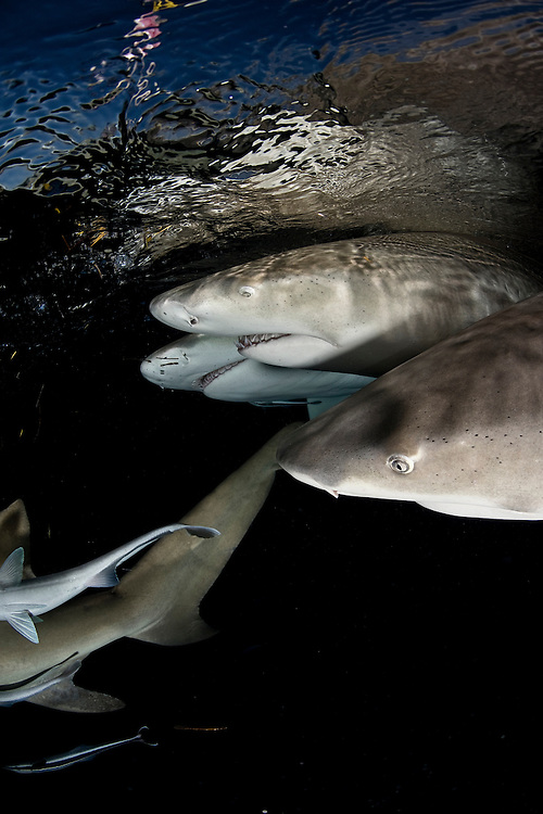 Portrait of Lemon Shark/s of the Bahamas