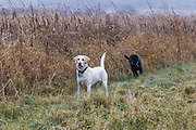 Jeff Lane's Labrador retrievers