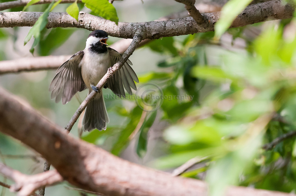 An agitated Chickadee cries and bats its wings in a tree.