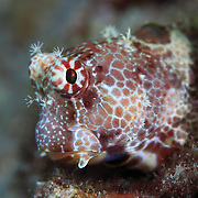 Profile of a cute leopard blenny (Exallias brevis) in Ambon, Indonesia