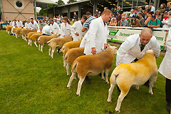 © Licensed to London News Pictures. 22/07/2019. Llanelwedd, Powys, UK.Judging of British Texel sheep takes place on the first day of the 100th Royal Welsh Agricultural Show. The Royal Welsh Agricultural Show is hailed as the largest & most prestigious event of its kind in Europe. In excess of 200,000 visitors are usually expected for the annual four day show period. The Royal Welsh Agricultural Society was founded in 1904. Photo credit: Graham M. Lawrence/LNP