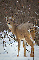 We went for a walk at Carburn Park to look for Chickadees.  The birds tend to hang out in the same areas of the park that the White-tailed Deer do, and sure enough we came across lots of Deer during our walk.  These Deer are very used to people (many people feed them regularly) and therefore are very curious and hopeful for a handout.  I actually had one of them walk right up to me sniff my hands in hopes that I had a tasty treat.  Sadly for the deer, I did not. ..©2010, Sean Phillips.http://www.Sean-Phillips.com