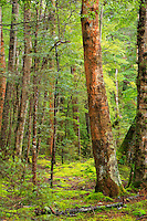 Forest in Fiordland National Park, Te Anau, New Zealand