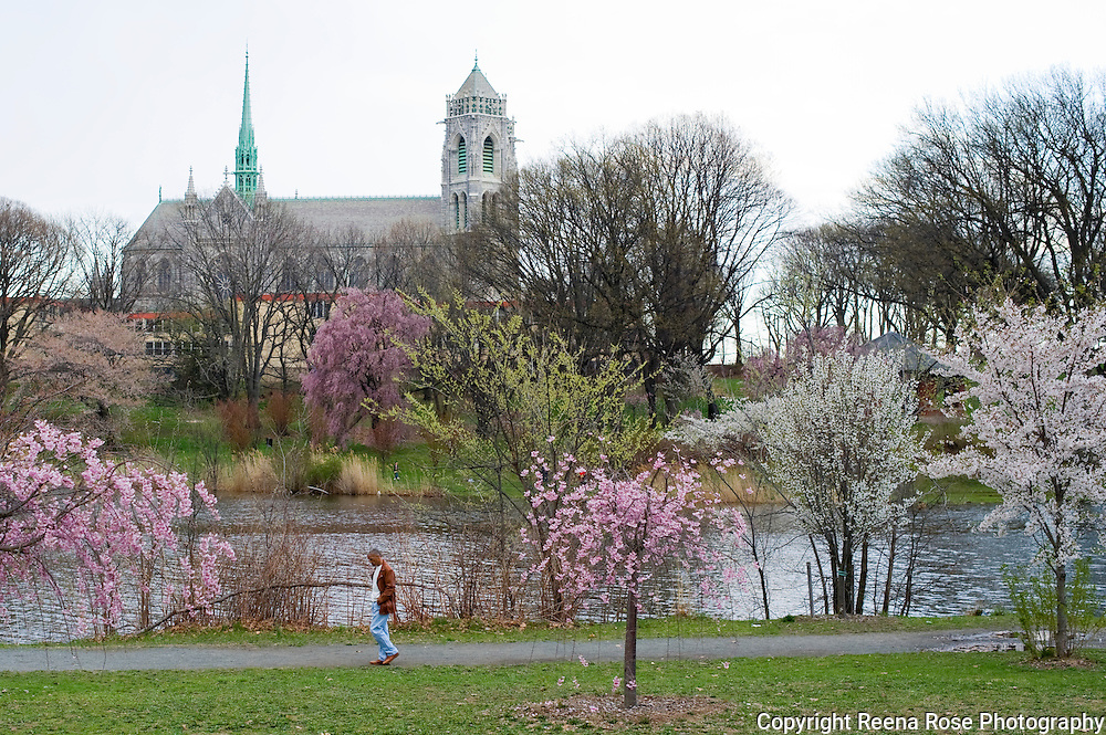 Cherry Blossoms and the Cathedral Basilica of the Sacred Heart,<br /> Branch Brook Park<br /> Newark, NJ