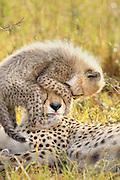 Cheetah<br /> Acinonyx jubatus<br /> 8 week old cub(s) playing on mother's head<br /> Maasai Mara Reserve, Kenya