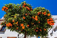 Orange tree, Loja, Granada Province, Andalusia, Spain.