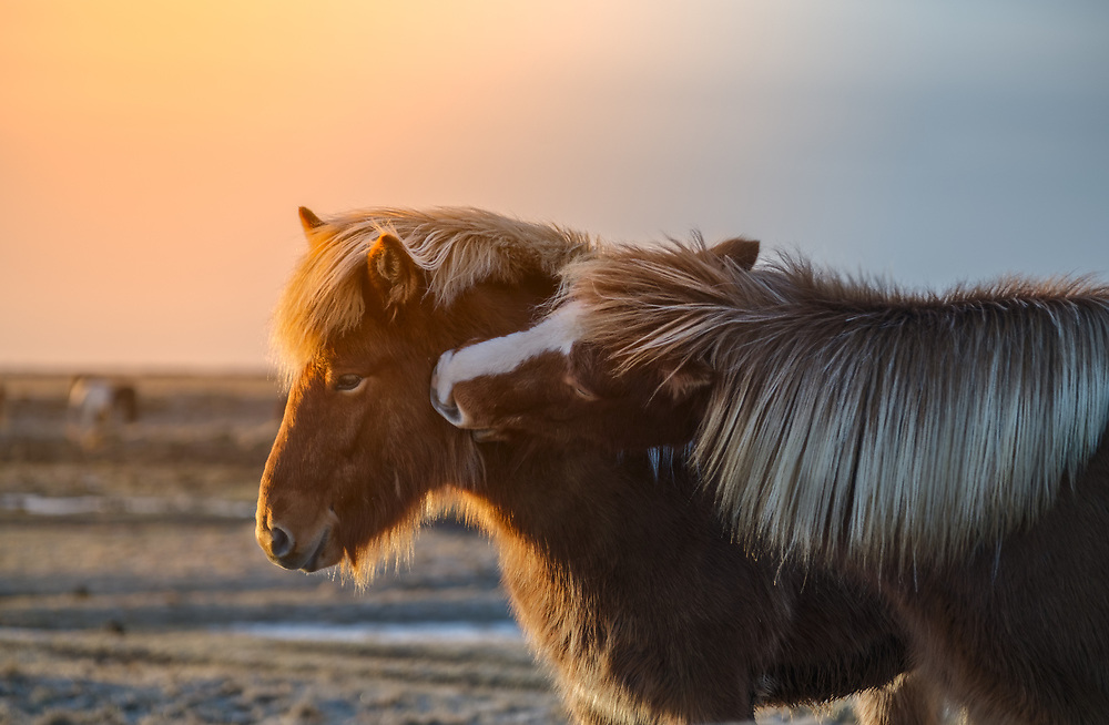 Icelandic horses are especially popular in western Europe, Scandinavia, and North America.<br />
