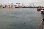 Grey Seal, Kilmore Quay, Wexford.