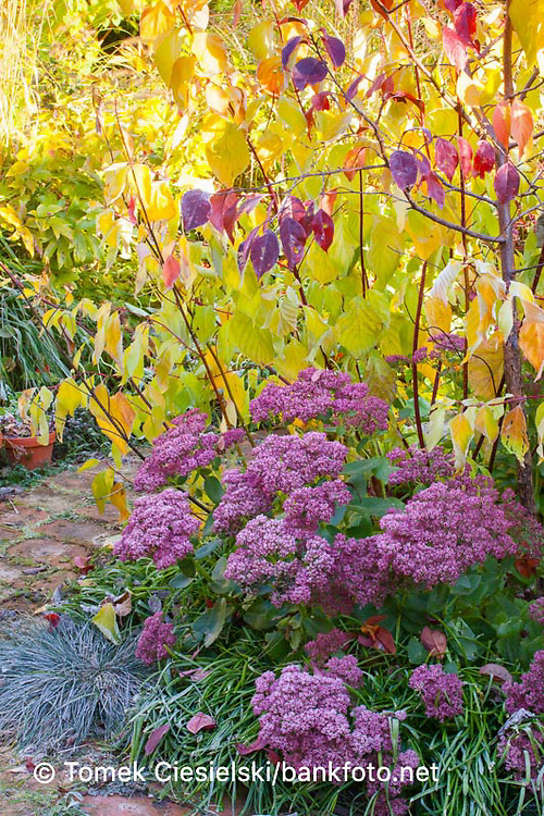 AUTUMN BORDER WITH PINK SEDUM AND YELLOW CORNUS ALBA