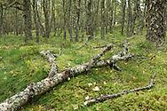 Rotting branch of silver birch tree in forest in Boat of Garten, Cairngorms National Park, Scottish Highlands, Uk