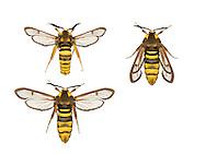 Hornet Moth - Sesia apiformis<br /> 52.002 BF370