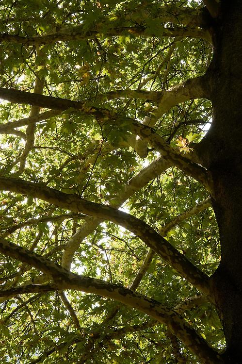 Greece, Meteora, Branches of Platan tree, Oriental Plane, (Platanus orientalis)