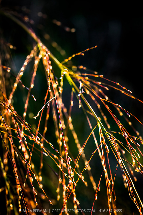 Tiny spots of light on ornamental Panic grass (Panicum virgatum)