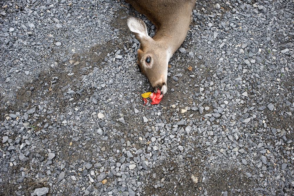 A dead deer lays on the side of the road. Virginia, USA, 2011