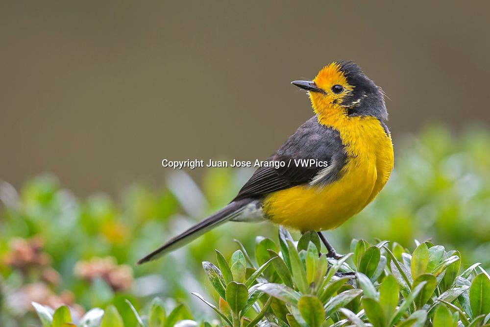 Golden-fronted Redstart (Myioborus ornatus chrysop), PNN Los Nevados, Manizales
