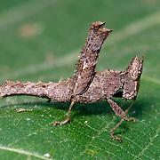 Conjoined Spot Monkey-grasshopper, Erianthus serratus in Kaeng Krachan National Park, Thailand.