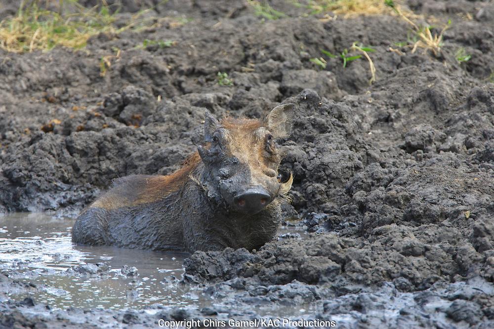 Warthog lying in the mud.
