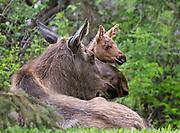 Alaska; Moose cow (Alces alces) resting with calf, Kincaid Park, Anchorage.