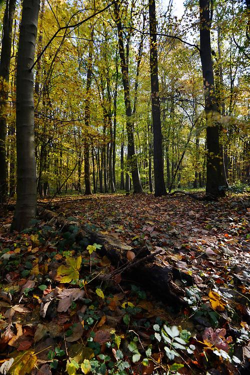 Mature autumn woodland, Stoke Wood, Oxfordshire