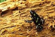 Green and Black Poison Dart Frog (Dendrobates auratus), Colon, Colon province, Panama