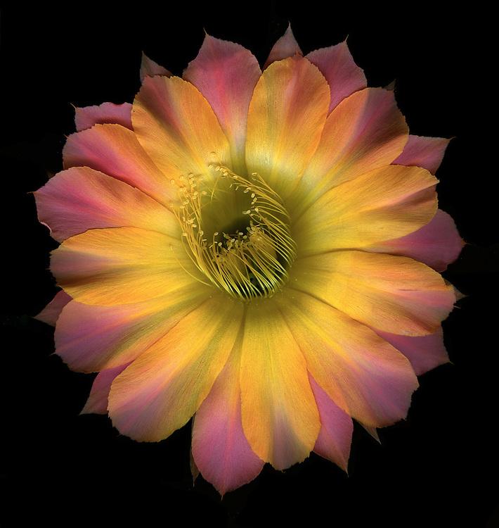 "Echinopsis cactus hybrid ""Napea"" / #VAR318"