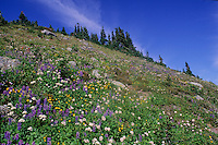 Alpine meadow on Whistler mountain showcases abundant wildflowers including lupin, valerian, and heather.