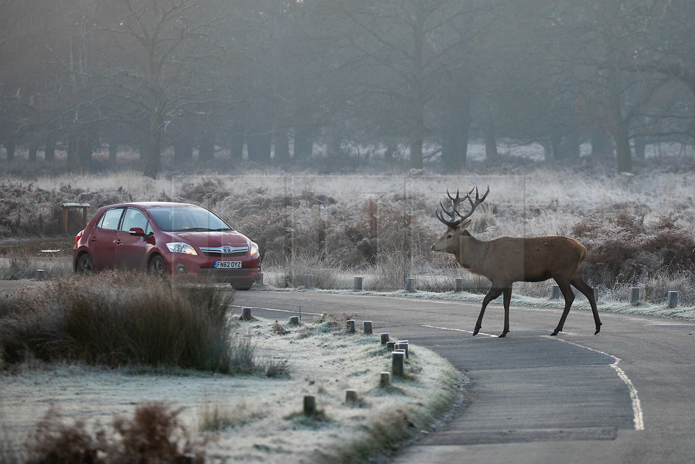 © Licensed to London News Pictures. 02/12/2019. London, UK. A car waits for a deer to cross the road in the frost, at sunrise in Richmond Park, London, as temperatures dropped to below zero degrees Celsius last night in the capital. Photo credit : Tom Nicholson/LNP