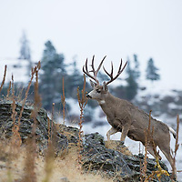 mule deer buck walking up rocky ridge snowy mountain background