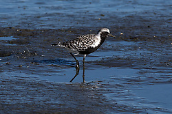 Black-bellied Plover (Pluvialis equatarola), Coyote Point Recreation Area, San Mateo, California, United States of America