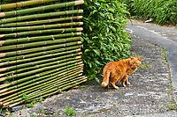 Japon, île de Honshu, région de Kansaï, Kyoto, chat // Japan, Honshu island, Kansai region, Kyoto, cat