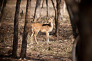 Spotted deer, Axis axis, (Chital) female in Ranthambhore National Park, Rajasthan, Northern India