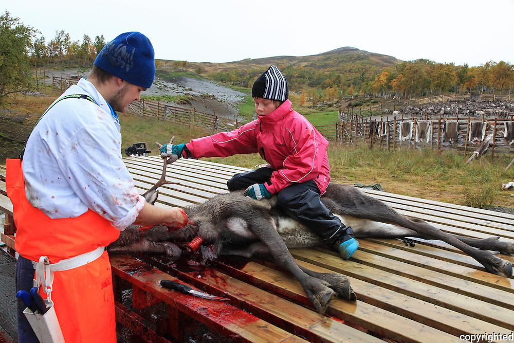 Bukkeslakting i Saanti Sijte, Essand reinbeitedistrikt. Skarpdalen mellom Tydal og Meråker. Reindeer slaughtering by the south sami group Saanti Sijte. Mid-Norway.