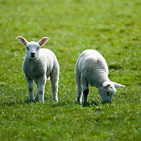 spelende lammeren in een weiland..Young lambs playing around..