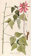 Hand painted botanical study of Erythrina rubicunda (Cherokee bean  Erythrina herbacea) flower anatomy from Fragmenta Botanica by Nikolaus Joseph Freiherr von Jacquin or Baron Nikolaus von Jacquin (printed in Vienna in 1809)