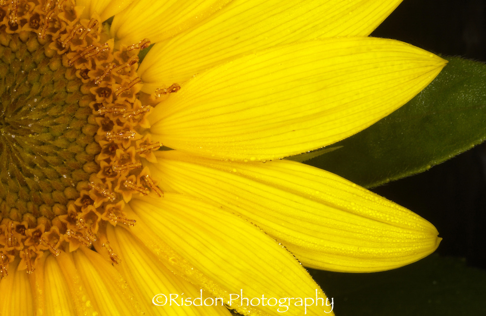 macro photography of sunflower