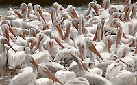 The end of August 2016 American White Pelicans rest in the afternoon sun after a long morning of fishing on the big pond at the Bear River Bird Refuge in Northern Utah.