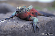 endemic marine iguana, Amblyrhynchus cristatus, Espanola or Hood Island, Galapagos ( Eastern Pacific Ocean )