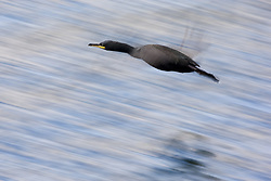 Shag in flight