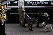 Doggie Diva is a limo service in New York City that picks up people's dogs each morning at 6:30 for day care and returns them in the evening.