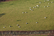 Sheep grazing on a hillside in the Black Mountains, Powys, Wales, United Kingdom