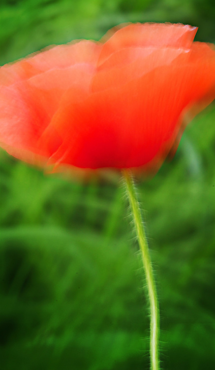 I love this abstract shot of a beautiful red poppy blowing in the wind.