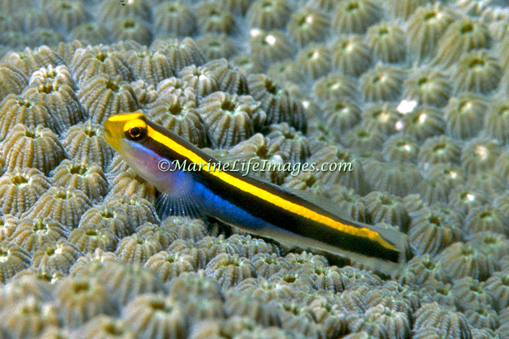 Yellownose Goby a cleaner fish, perch on cleaner station coral heads in Southwest Caribbean, Lesser Antilles to Venezuela; picture taken Venezuela, Los Roques.