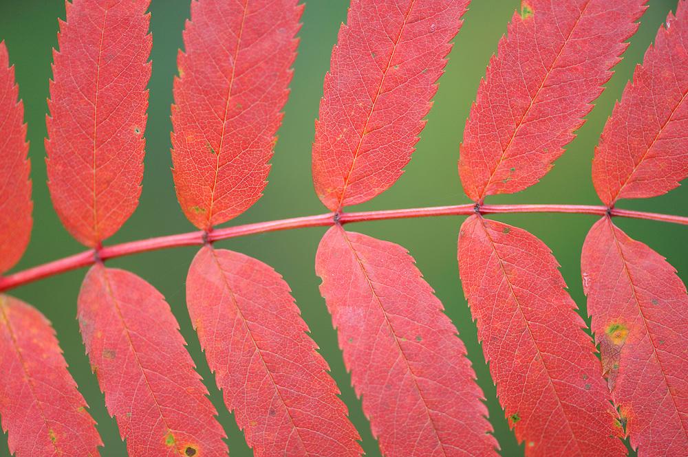 Rowan, Sorbus aucuparia L in Kuhmo, Finland.