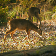 Two deer grazing in Point Defiance, Tacoma, WA