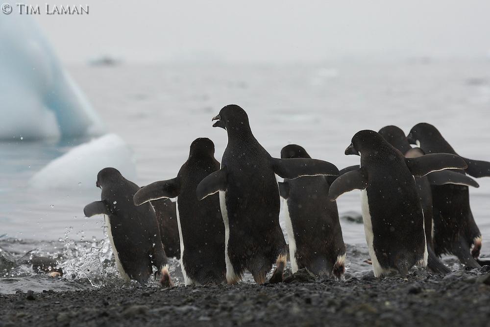 Adelie Penguin (Pygoscelis adeliae) on the beach with icebergs at Devil Island, Antarctica.