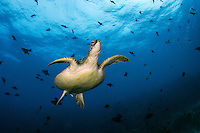 A Green Sea Turtle glides though the water column <br /> <br /> Shot in Indonesia