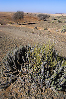 Cactus. Arid landscape south of Agadir, Morocco.