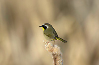 Common Yellowthroat (Geothlypis trichas), Bridlewood Wetlands, Calgary, Alberta, Canada