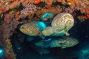 Goliath Grouper, Epinephelus itajara, gather inside the Mispah shipwreck offshore Singer Island, Florida, United States, during a spawning aggregation in August 2014. Fish with spawning coloration.
