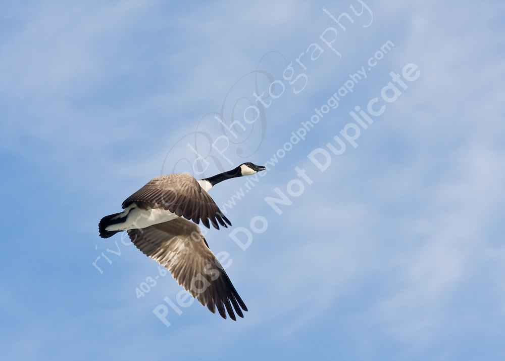 February 2, 2008.  A Canada Goose soars high overhead above the Bow River in   Calgary, Alberta, Canada.  Thousands of geese spend the winter nights on the Bow, traveling to the surrounding prairie fields to eat during the day.